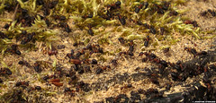 20150420_1 Crowd of red wood ants (Formica rufa) | Gothenburg, Sweden (ratexla) Tags: redwoodant formicarufa ant ants insect insects nonhumananimal nonhumananimals animal animals 20apr2015 2015 canonpowershotsx50hs gothenburg goteborg gteborg sweden sverige scandinavia scandinavian nature europe beautiful cute cool organism life earth tellus photophotospicturepicturesimageimagesfotofotonbildbilder invertebrate invertebrates wildlife biology zoology insekt insekter djur ryggradslsadjur europaeuropean macro makro norden nordiccountries rdmyra rdmyror myra myror rdskogsmyra