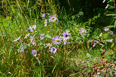 Bluebird Aster By The Meander River (TheNovaScotian1991) Tags: maritimes novascotia canada smileysprovincialpark meanderriver wildflowers bluebirdsmoothaster asteraceae hantscounty nikond3200 ultrawideangle tokina1116mmdxii grass woods forest
