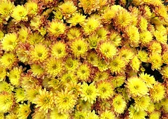 It's officially FALL! (Bennilover) Tags: birthday flowers mums fall autumn yellow happy seasons rogersgardens september japan chrysanthemums chrysanthemum celebration newportbeach california