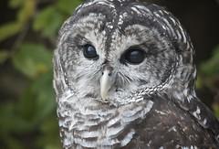 Owl Eyes (Feathered Trail Photos) Tags: owl mfcc thegalaxy flickrbirdbrigade buckinghamnaturephotography