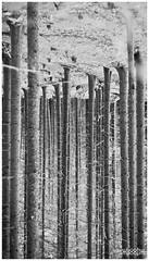°headstand° (Hofmeister Willi) Tags: trees blackandwhite forest austria sony manualfocus steiermark headstand styria vertikal whoohw carlzeissjenaczjpancolar50mmf18zebra