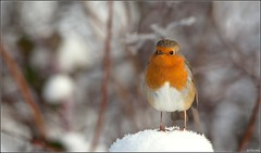 ~All I Want For Christmas~ (Eddie The Bugman) Tags: nottingham robin erithacusrubecula bokeh attenborough naturereserve canon400mmf56l nottswildlifetrust canoneos5dmkii