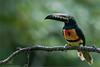 Collared Aracari (Raymond J Barlow) Tags: nature toucan costarica wildlife adventure 200400vr nikond300 raymondbarlowtours