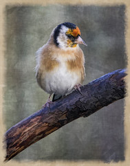 SL261112 Bird Frenzy 024 (Sh4un65_Artistry) Tags: birds animals artwork goldfinch british effect painteffect britishwildlife textured topaz topazsimplify birdspainted