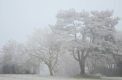 Cold - Explored! (Tinina67) Tags: winter france cold tree fog pine forest season frost fig tina colourless tinina67