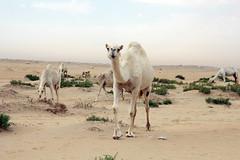 Camels نياق (aboraged307) Tags: desert camel بعارين نياق