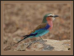 Lilac-breasted Roller in shade. (Rainbirder) Tags: masaimara lilacbreastedroller coraciascaudatus rainbirder