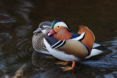 Mandarin Ducks (Quantumchute) Tags: ducks mandarin mandarinducks
