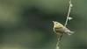 Tennesee Warbler (Raymond J Barlow) Tags: red green bird art nature costarica wildlife adventure 200400vr nikond300 raymondbarlowtours