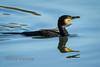 Cormorant (Nigel Dell) Tags: winter birds flickr wildlife places cormorant moorgreen ngdphotos
