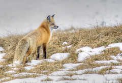 Hayden Fox (Deby Dixon) Tags: travel nature landscape photography nationalpark wolf wildlife moose fox yellowstonenationalpark wyoming bison wyo bullelk debydixonphotography
