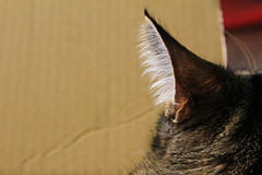 Listening / Vienna, Austria (2012) (Stephan Rebernik) Tags: cats pets animals hair fur tiere details ears closeups mammals katzen kater catears haustiere haare ohren pelz tomcats nahaufnahmen sugetiere katzenohren