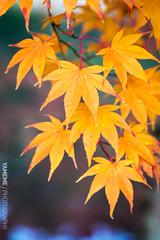 Yellow Maple / Kyoto, Japan (yameme) Tags: travel japan canon eos maple kyoto   kansai    eikando  24105mmlis 5d3 5dmarkiii