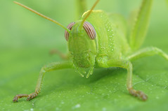 Anacridium aegyptium - Egyptische treksprinkhaan (henk.wallays) Tags: france up close cricket grasshopper rousson egyptische anacridium aegyptium sprinhaan treksprinkhaan orthopthera sprinhanenrousson