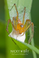 Lynx Spider (Oxyopes sp.) - DSC_6938 (nickybay) Tags: macro spider singapore lynx oxyopidae oxyopes republicpolytechnictrail