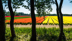 "Tulip Fields in Holland • <a style=""font-size:0.8em;"" href=""https://www.flickr.com/photos/21540187@N07/8332528213/"" target=""_blank"">View on Flickr</a>"