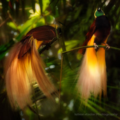 Greater Bird of Paradise (fesign) Tags: bird nature beauty indonesia grande jungle paraso newguinea cendrawasih paradisaeaapoda greaterbirdofparadise caroluslinnaeus aruislands paradicsommadr paradisaeinae paradisiergrandmeraude