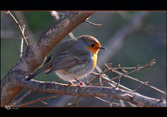 Pettirosso-Robin (acki2011) Tags: ngc soe autofocus greatphotographers thegalaxy nikond300 blinkagain dblringexcellence flickrstruereflection1 flickrstruereflection2 withringexcellence rememberthatmomentlevel4 rememberthatmomentlevel1 rememberthatmomentlevel2 rememberthatmomentlevel3 me2youphotographylevel1 freedomtosoarlevel1birdsonly