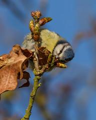_MG_0075 Blue Tit (Cyanistes caeruleus), Brandon Marsh, Warwickshire 05 May 2012 (Lathers) Tags: bluetit warwickshire cyanistescaeruleus brandonmarsh canonef500mmf4lisusm canon7d 05may2012