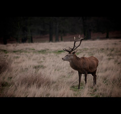 Day Three (Hasselbach Photography) Tags: park england london deer 365 reddeer richmondpark londonlondon project365 englandengland borderfx