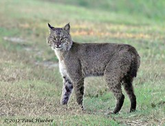 Bobcat (Lynx rufus) (Paul Hueber) Tags: nature animal mammal florida wildlife handheld orangecounty bobcat lakecounty centralflorida lynxrufus canonef100400mmf4556lisusm