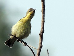 purple sunbird(Cinnyris asiaticus) Female (nbu2012) Tags: india west female campus nikon university purple north bengal durga sunbird siliguri asiaticus cinnyris nbu moutushi tuntuni nbu2012 nbu2013