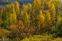 Rocky Mountain Autumn Garden (James L. Snyder) Tags: autumn trees red orange usa sunlight green fall texture colors leaves yellow horizontal forest garden gold golden woods colorado colorful warm glow afternoon natural bright native country rich fine sunny somerset brush september foliage nationalforest crisp strong aspens glowing rockymountains rough deciduous multicolored bushes shrubs luminous brilliant radiant sylvan rugged gleaming textured backlighting dainty thicket quaking crystalclear thriving therockies 2011 gunnisonnationalforest populustremuloides gunnisoncounty westelkmountains distantmountains gunnisonriverbasin westbeckwithpeak northforkdistrict