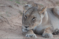 """Lion female • <a style=""""font-size:0.8em;"""" href=""""http://www.flickr.com/photos/56545707@N05/8365598526/"""" target=""""_blank"""">View on Flickr</a>"""