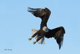 AMERICAN BALD EAGLE 6