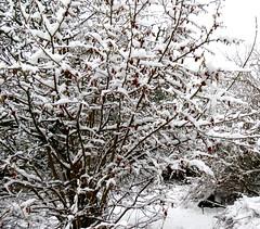 Snowy hazel branches (Jamie McMillan) Tags: christmas winter snow village snowytrees snowscene christmassnow englishvillage snowyroad snowybranches dorsetvillage briantspuddle snowylane hollowlane villageinwinter
