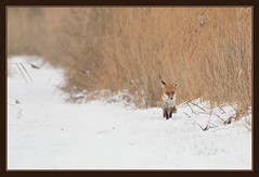 A Long Walk To The End Of Winter (Full Moon Images) Tags: winter red snow nature animal project mammal wildlife great bcn reserve national fox trust fen cambridgeshire woodwalton nnr
