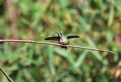 Feliz, batendo as asinhas! (Mrcia Valle) Tags: brazil minasgerais bird nature brasil fauna wings nikon hummingbird natureza mg ave oiseau brasile brsil asas d60 juizdefora nikkor70300mm besourinhodobicovermelho faunabrasileira brazilianfauna mrciavalle