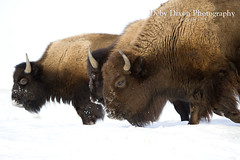 Bison cows (Deby Dixon) Tags: winter snow nature cows wildlife bull yellowstonenationalpark yellowstone wyoming bison calves debydixonphotography