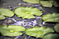 Petals on Water 2 (*Amanda Richards) Tags: lily guyana georgetown botanicalgardens victoriaamazonica