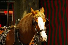 Sweet Brussels (Natali Antonovich) Tags: light brussels horse animal belgium belgique belgie sweetbrussels
