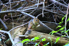 There's Dale ! (tripod_treker) Tags: chipmunks animals leaves twigs brush dale