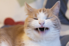 The laughing cat (Helen Lundberg Photo) Tags: cat laughing laughter cute funny pet fluffy comical happy smile smiling teeth