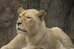 Witte Leeuwin (Jan de Neijs Photography) Tags: leeuw leeuwin ouwehands ouwehandsdierenpark tamron tamron150600 dierentuin rhenen