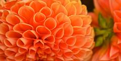 FLOWER (chris .p) Tags: nikon d610 close flower garden worcestershire england july capture 2016 colour summer nt nationaltrust