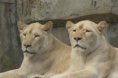 Witte Leeuwin (Jan de Neijs Photography) Tags: witteleeuwin leeuwin ouwehands ouwehandsdierenpark rhenen tamron tamron150600 dierentuin zoo lioness