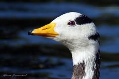 Bar-headed Goose (Boreal Impressions) Tags: barheadedgoose anserindicus goose centralasia mountainlakes southasia south peninsularindia groundnest hamsa indianmythology kadamb sanskritliterature swan europe britain uk england