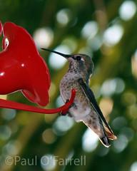 Backyard Hummingbird (ofarrl) Tags: closeup bokeh usa california sanjose santateresa southbay bayarea siliconvalley hummingbird annashummingbird wildlife bird suburban