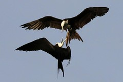 Pair of Female Magnificent Frigatebird Inflight at Odds (dbadair) Tags: ft desoto park st pete fl florida wildlife birds