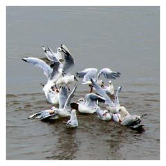 Frenzy iii (Paul.Y-D) Tags: birds sea gulls terns river exe topsham