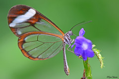 Glasswinged butterfly (Rene Mensen) Tags: glasvleugel glasswinged wildlands wings nikon nature nikkor netherlands green orange rene mensen schmetterlinge