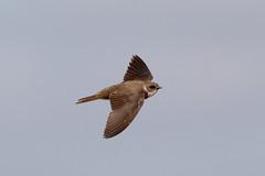 Sand Martin (NickWakeling) Tags: sandmartin salthouse canon60d sigma150600mmf563dgoshsmcontemporary birds wildlife norfolk nature northnorfolk