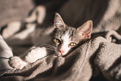 Baby Cat Just Woke Up (thethomsn) Tags: baby cat kitten wokeup awake chillout eyes yellow animal grey faded dof depthoffield cats pet sigma 30mm naturallight indoors portrait