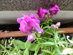 Snapdragons growing (seikinsou) Tags: brussels belgium bruxelles belgique summer balcony flower flowerpot snapdragon pink red antirhinum antirrhinum
