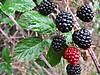 Moras 023 (adioslunitaadios) Tags: moras2016 mermeladademoras frutosdelbosque zarzamora macro fujifilm hojas airelibre campo