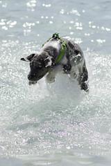 IMG_9635 (kris10pix) Tags: dogpaddle2016 dogs puppies puppy splash pool fetch dog wisconsin capitolk9s mutts purebreed leap madisonwi goodmanspool wetdog summer